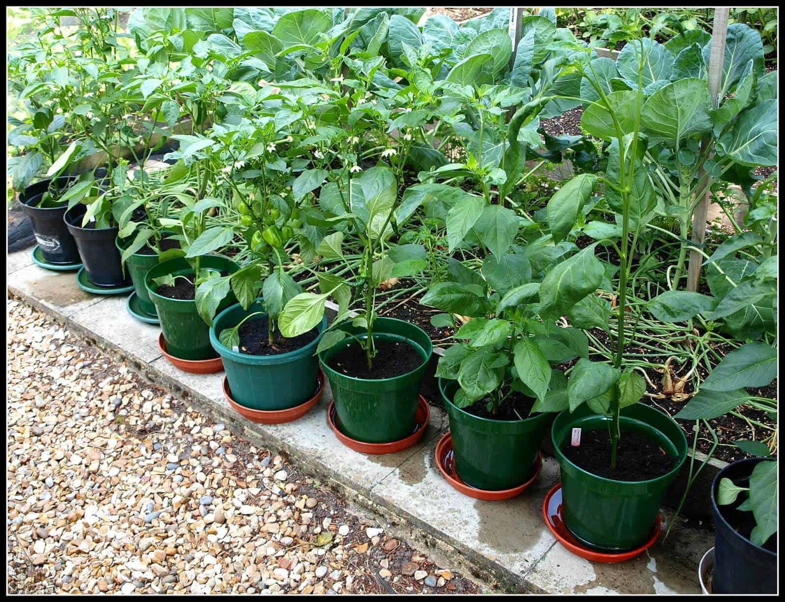 Growing habanero peppers in containers