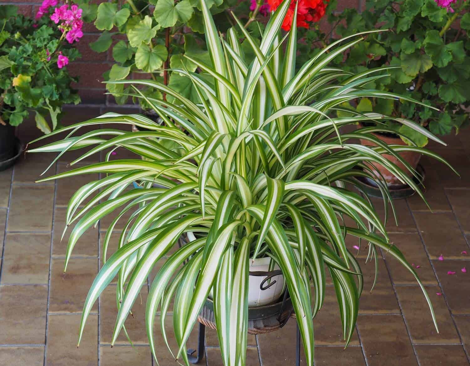 If you want to enrich your home garden with so many plants in number, propagating spider plants is one of the most suitable options for you.