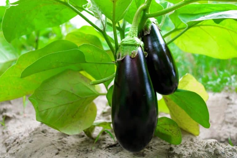 How to Grow Eggplant from Seeds to Harvesting