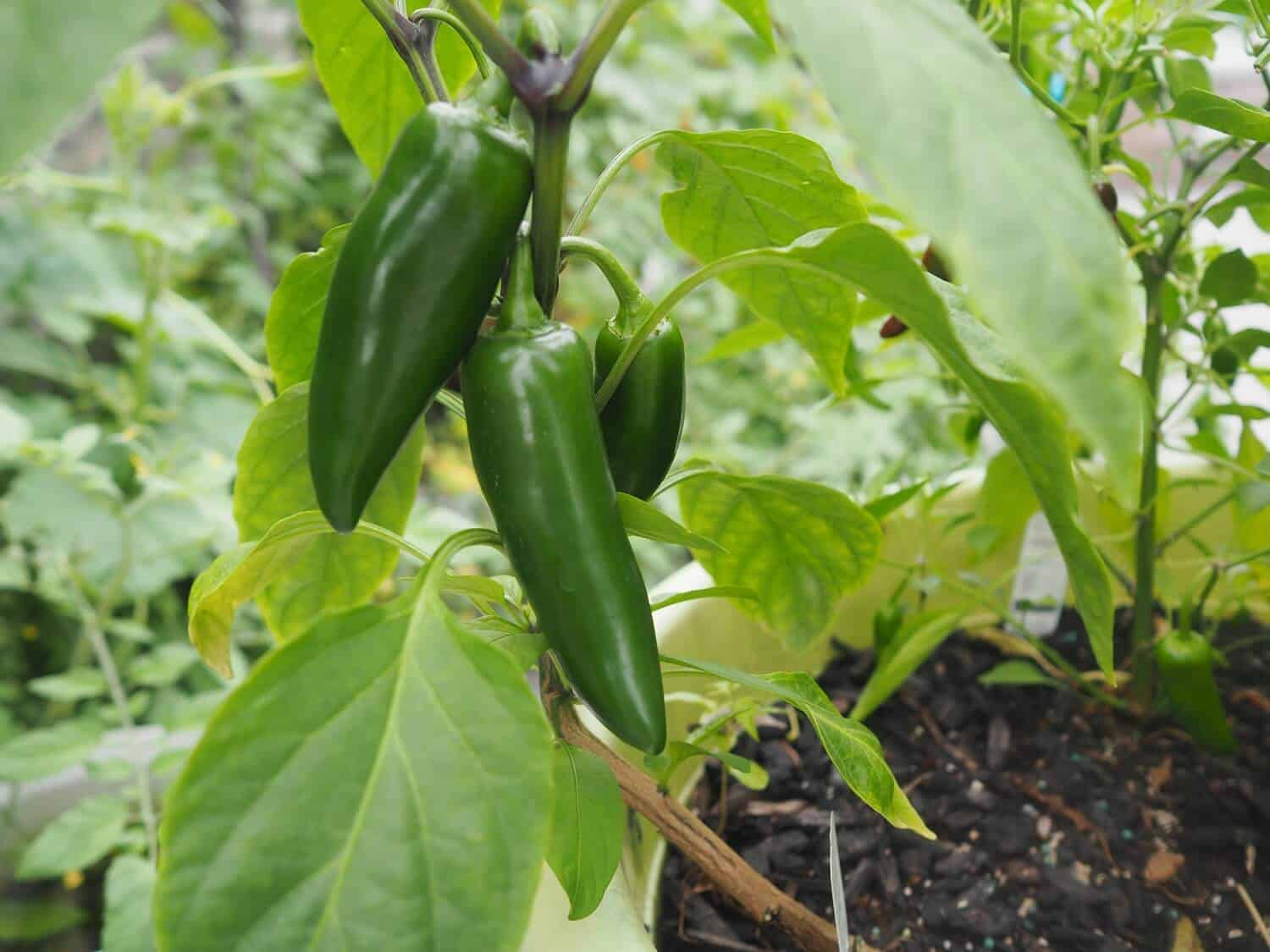 Companion planting with basil - pepper