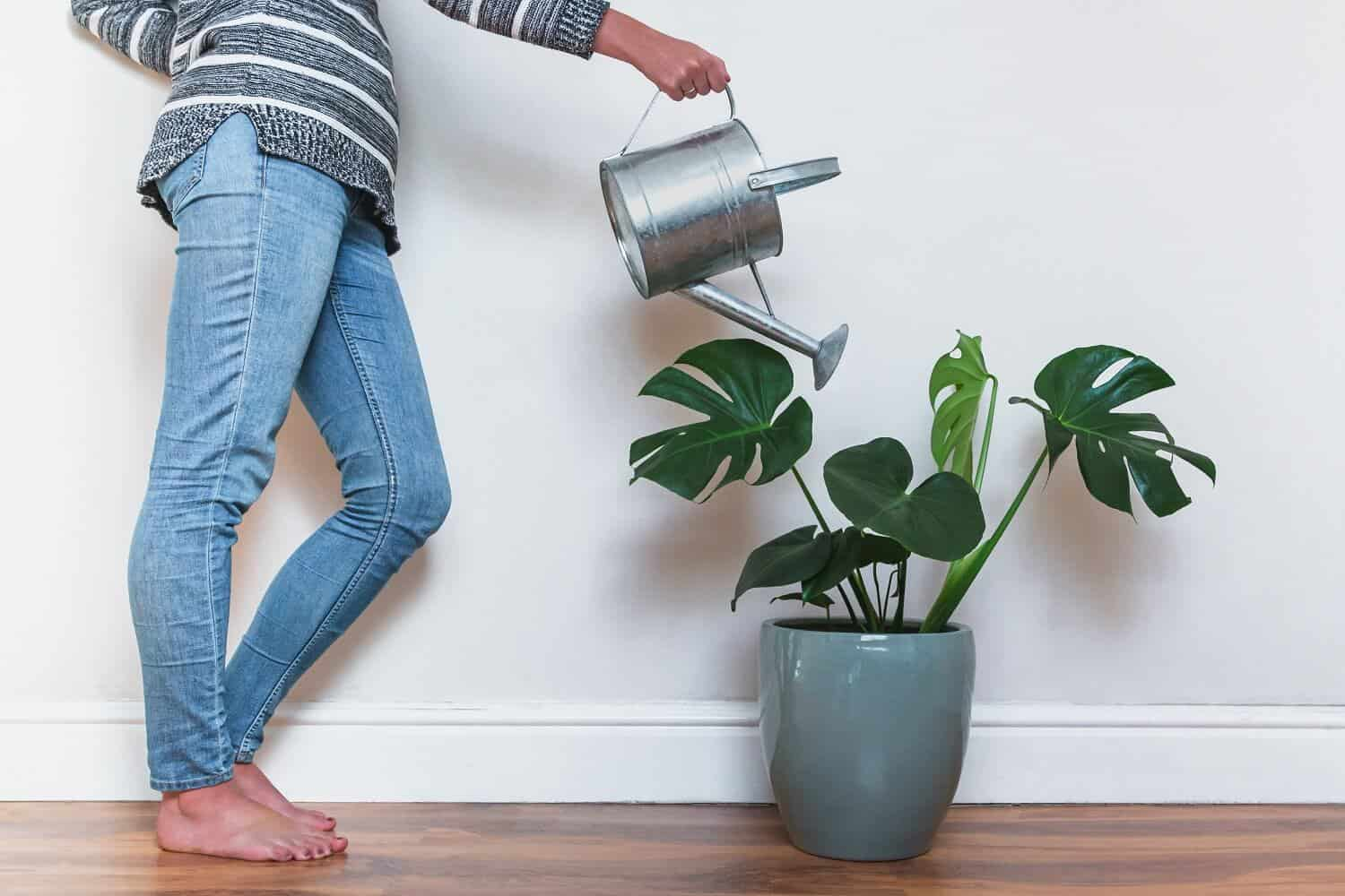 7 Easy Steps for Watering Monstera Plants in Pots