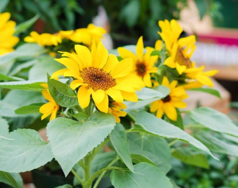 How to Grow Sunflowers from Seeds and Cuttings in pots